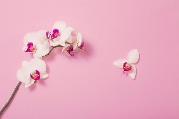 Flores de orquídeas blancas sobre papel rosa