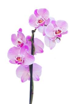 Flores de orquídeas rosadas cerca aisladas sobre fondo blanco.