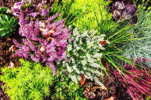 Flores de otoño macizo de flores con hierba de brezo rosa y plantas fondo floral decoración de la tumba