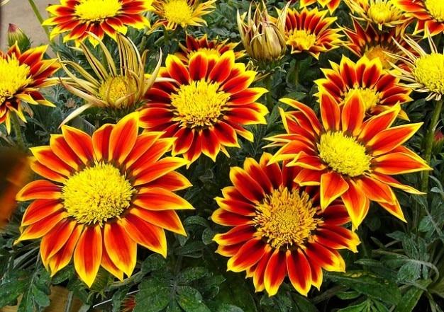 Flores de plantas de jardín gazanias