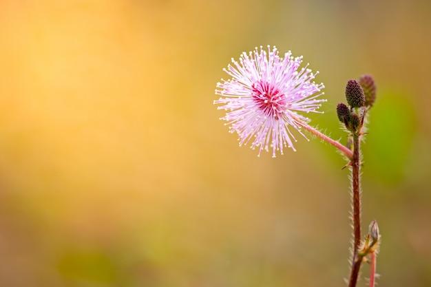 Flores de plantas sensibles entre los pastizales y la luz del sol de la mañana.