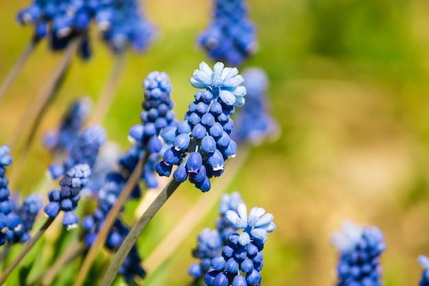 Flores de primavera azul muscari que crecen contra la pared de la naturaleza.