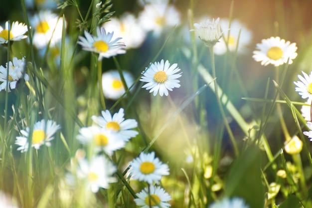 Flores de primavera. flor de margarita en prado verde