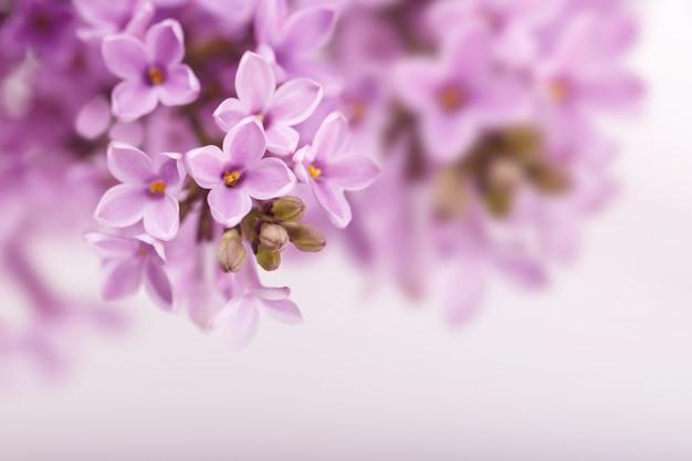 Flores de primavera lila