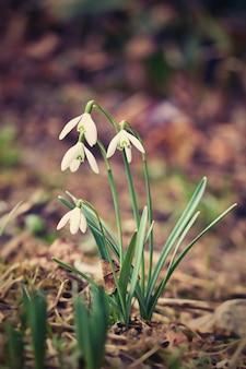 Flores de la primavera - snowdrops. bellamente floreciendo en la hierba al atardecer. amaryllidaceae - galanthus nivalis