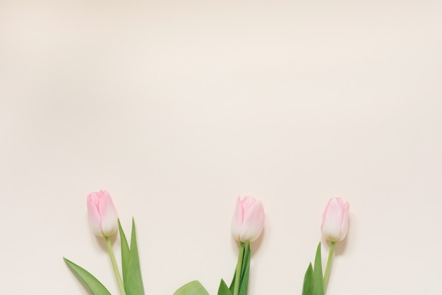 Flores de primavera de tulipanes rosados sobre un fondo blanco, vista superior en estilo plano laical. felicitaciones por el día de la mujer o la madre. copia espacio