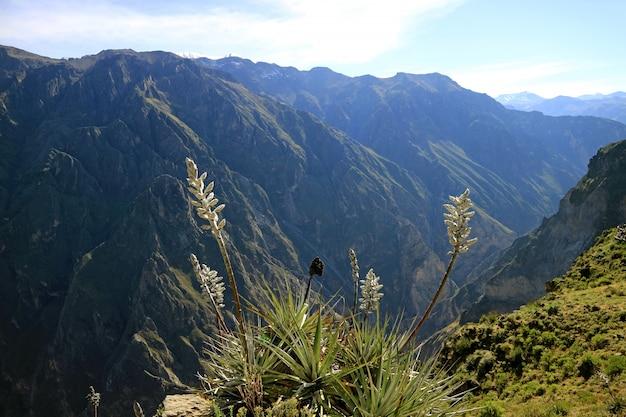 Flores puya weberbaueri en el cañón del colca, región arequipa, perú, américa del sur