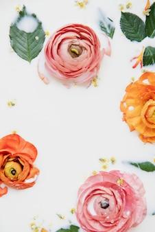 Flores de ranúnculo de colores laicos plana en baño de leche