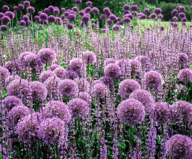 Flores redondas púrpuras que crecen en un campo