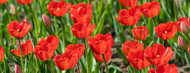 Las flores rojas coloridas hermosas de los tulipanes florecen en jardín de la primavera.