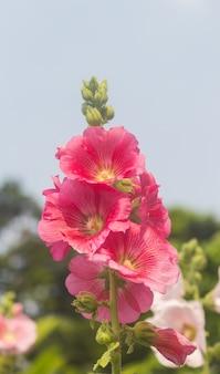 Flores rojas del malva que florecen en el jardín.