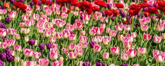 Las flores rojas y rosadas coloridas hermosas de los tulipanes florecen en jardín de la primavera.