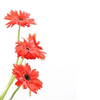 Flores rojas sobre fondo blanco para aniversario, cumpleaños, boda marco floral