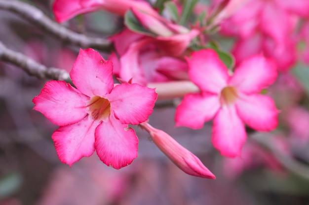 Flores de la rosa del desierto en el jardín (impala lily)