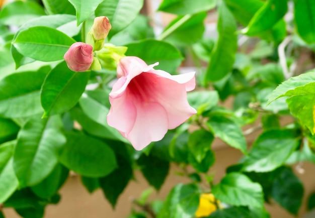 Flores rosadas de allamanda en las ramas de los árboles