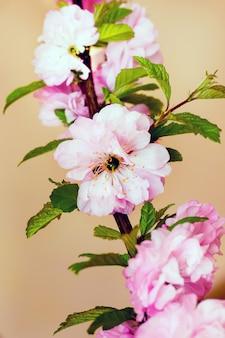 Flores rosadas de cereza japonesa sobre un fondo marrón claro