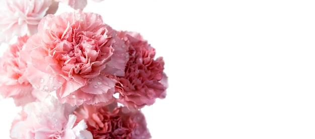 Flores rosadas del clavel aisladas en el fondo blanco con el espacio de la copia