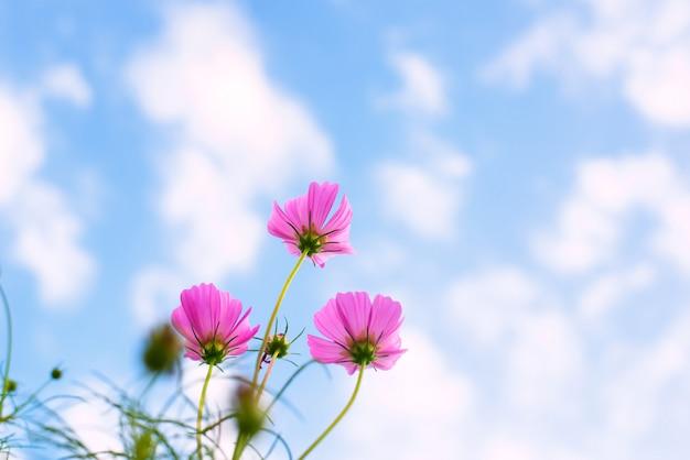 Flores rosadas del cosmos contra fondo del cielo azul