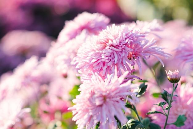 Las flores rosadas del crisantemo florecen en el jardín del otoño, foco selectivo