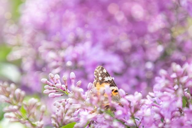 Flores rosadas hermosas del syringa de la lila violeta y mariposa que agita en la naturaleza al aire libre, macro del primer. imagen artística mágica. tonos en tonos claros y soleados.
