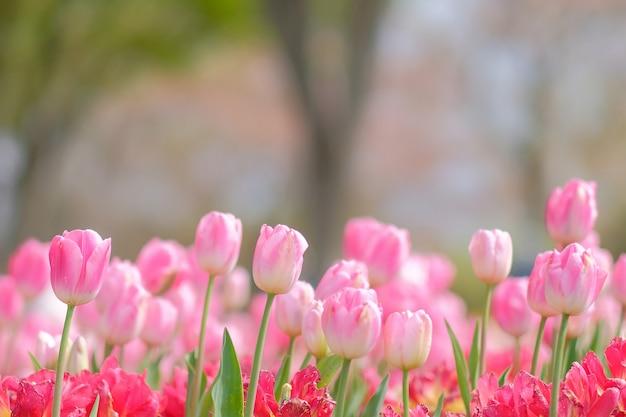 Flores rosadas hermosas del tulipán que florecen en el jardín