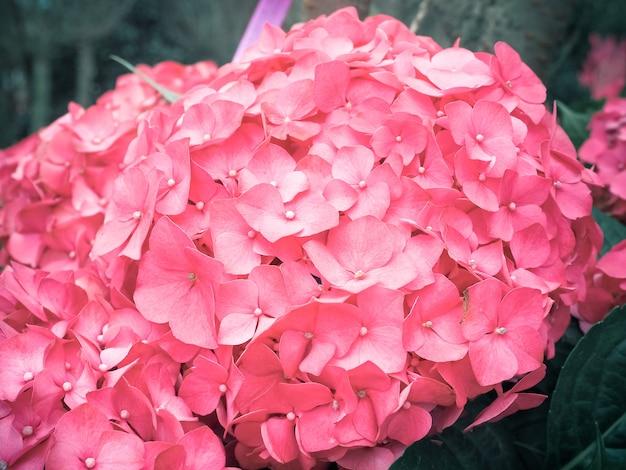 Flores rosadas de hydrengeas que florecen en el jardín.