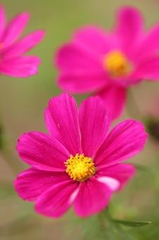 Flores rosadas en la naturaleza borrosa. flor de margarita rosa