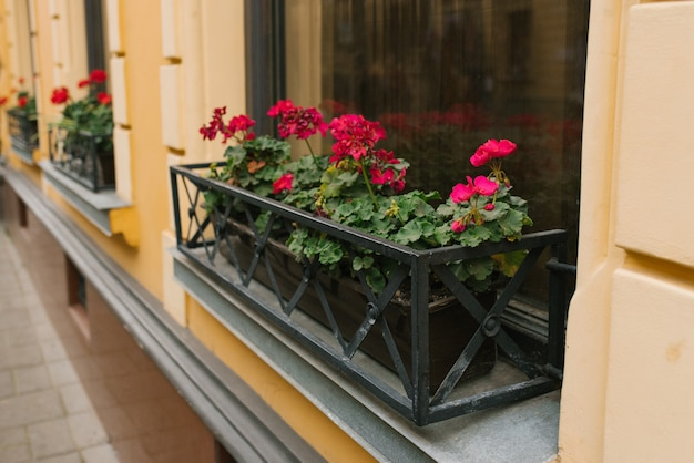 Flores rosadas de pelargonium en jarrones en las ventanas de la casa