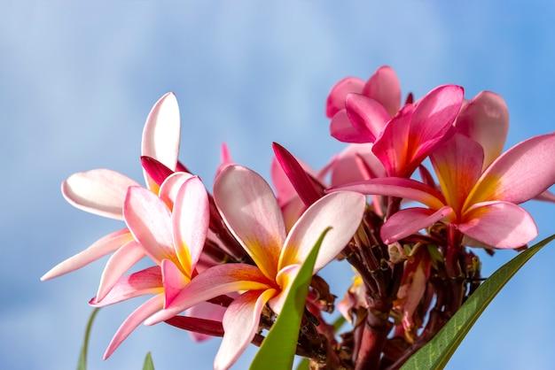 Flores rosadas de plumeria (plumeria rubra). fondo de cielo azul.
