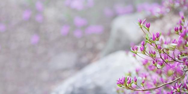 Flores rosadas de rododendro mucronulatum. patrón idílico con hermoso rododendro coreano en flor para el fondo del sitio web o tarjeta de felicitación. copia espacio bandera