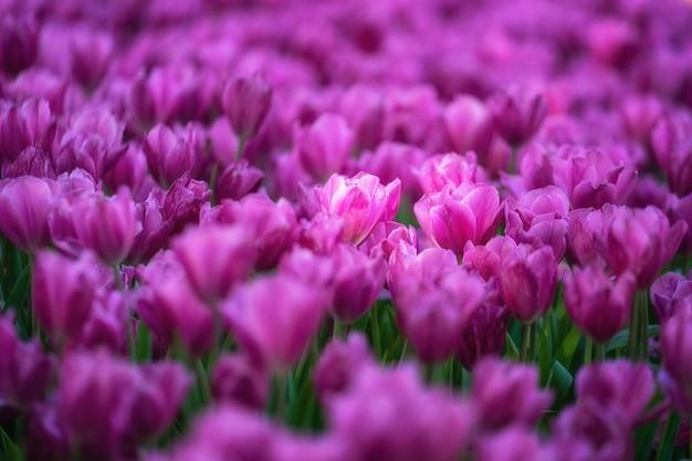 Flores rosadas del tulipán que florecen en el macizo de flores.