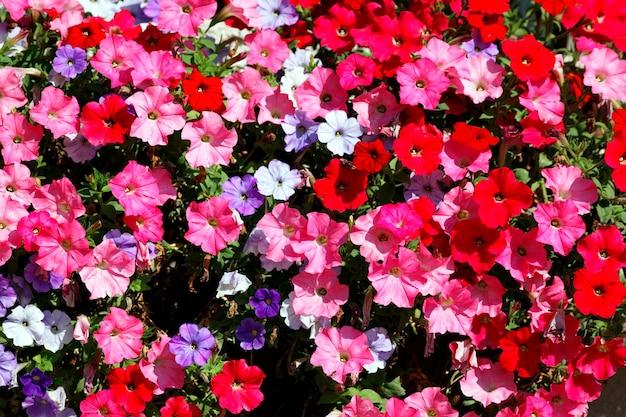 Flores rosas, rojas, blancas y violetas en el jardín