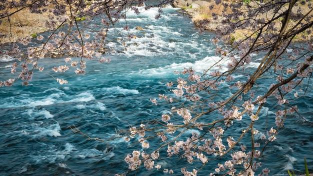 Flores de sakura y fondo de río