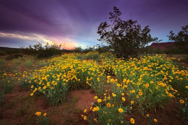 Flores silvestres del desierto con puesta de sol