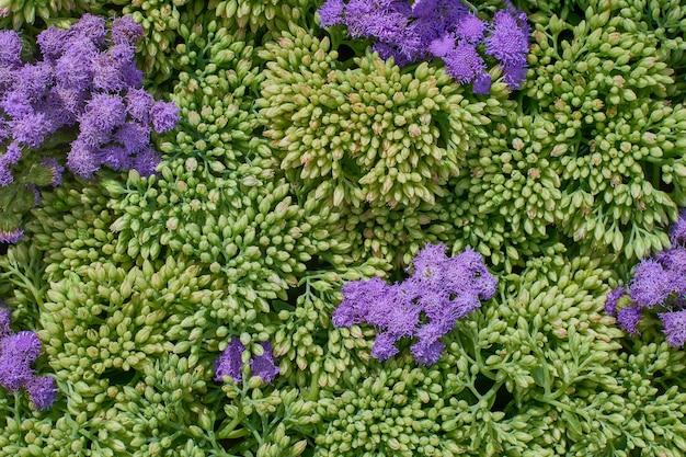 Flores de stonecrop. vista superior