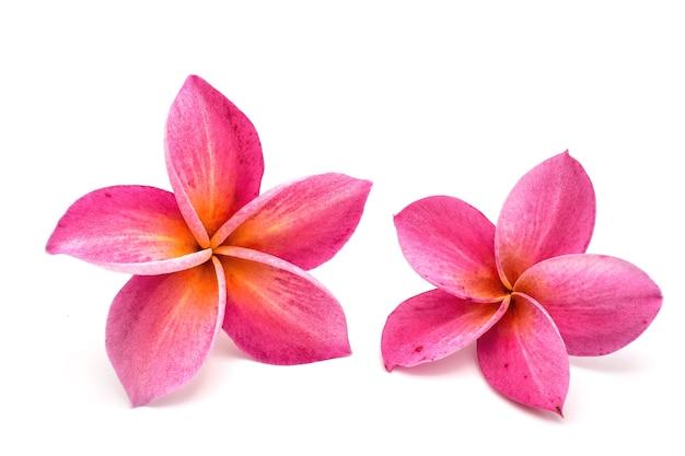 Flores tropicales aisladas plumeria rojo sobre fondo blanco.