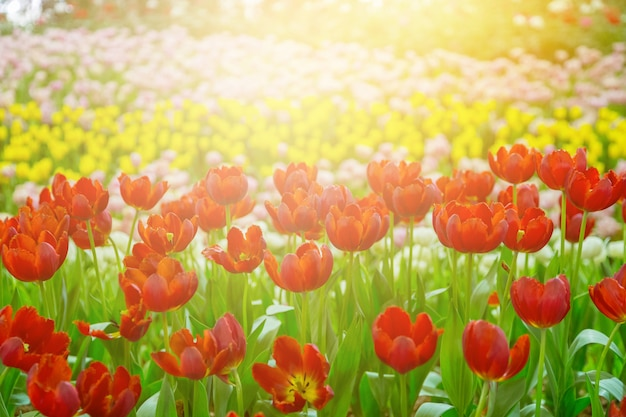Flores de tulipán enfoque selectivo con fondo verde