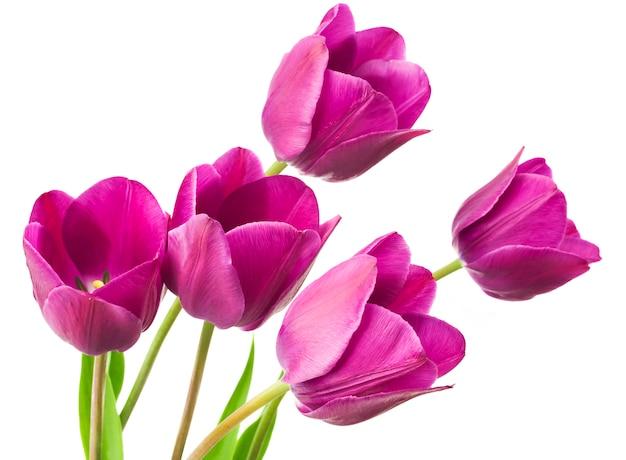 Flores de tulipán púrpura
