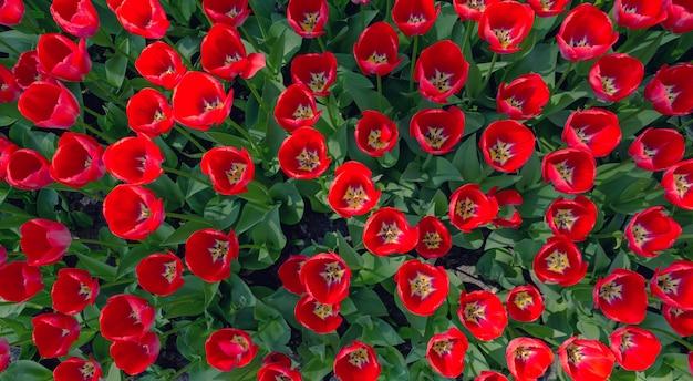Flores de tulipán rojo fresco
