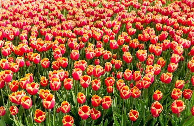 Flores de tulipán rojo en el parque