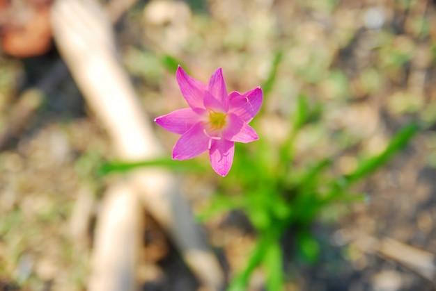 Flores de zephyranthes rosas florecen en el jardín.