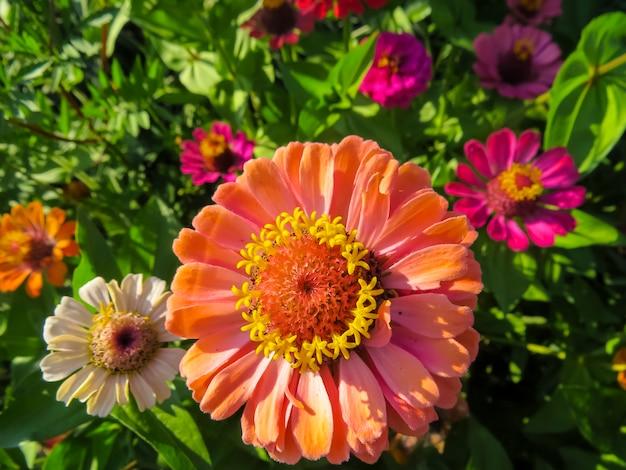 Flores de zinnia en jardin