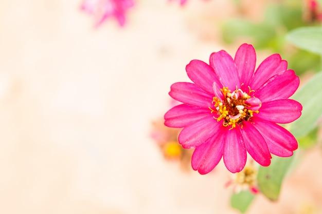 Flores de zinnia.