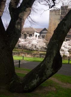 Floresence prunus