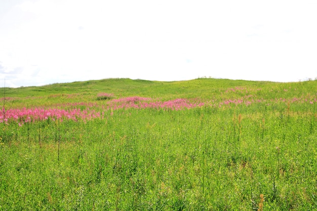 Flowerses lilas en campo verde