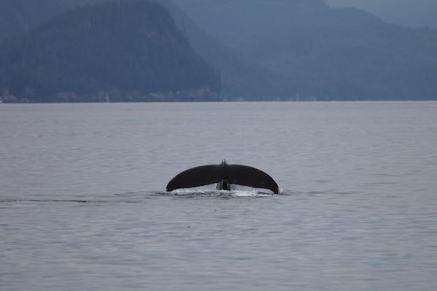 Fluke de ballena jorobada en el mar en alaska