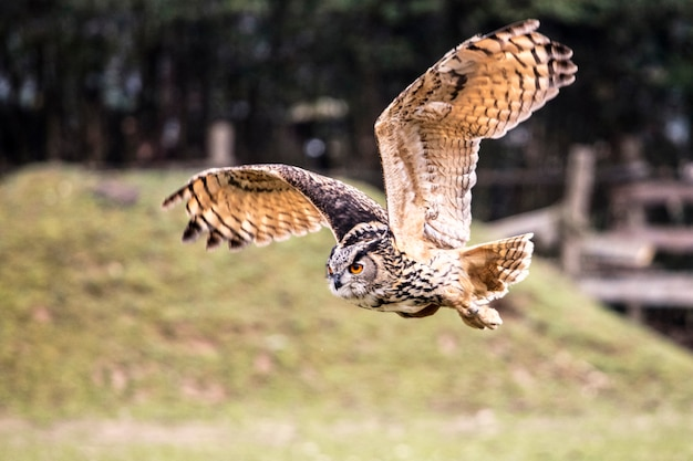 Flying bubo owl en la naturaleza