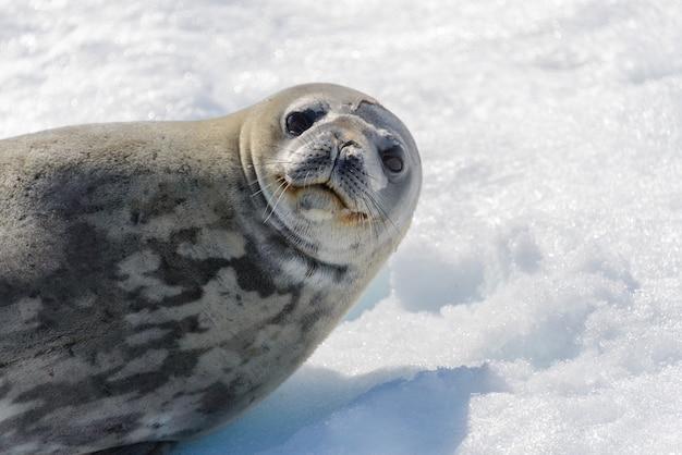 Foca leopardo en la playa con nieve en la antártida