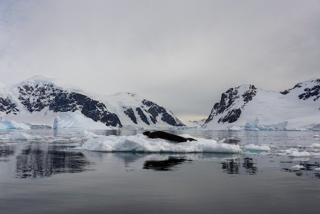 Foca leopardo sobre hielo