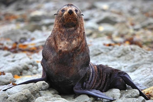 Foca silvestre en la colonia de focas en kaikoura, nueva zelanda, de cerca